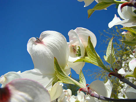 Baslee Troutman - Blue Sky Floral art prints White Dogwood Flowers