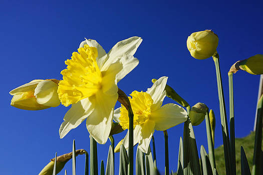 Baslee Troutman - Blue Sky Spring Bright Daffodils Flowers