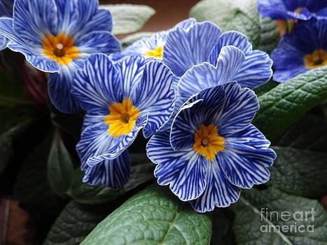 Blue striped primulas by Dana Hermanova