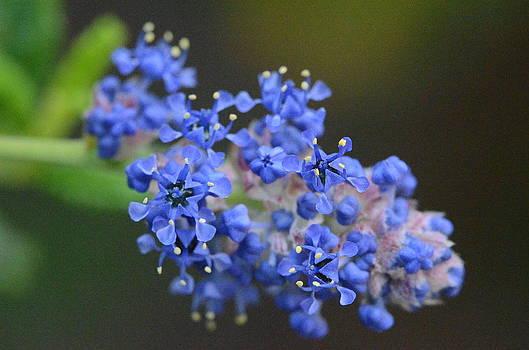 Blue Tiny Flowers  by Riad Belhimer