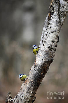Blue Tits in the Woods by Leanne Byrom