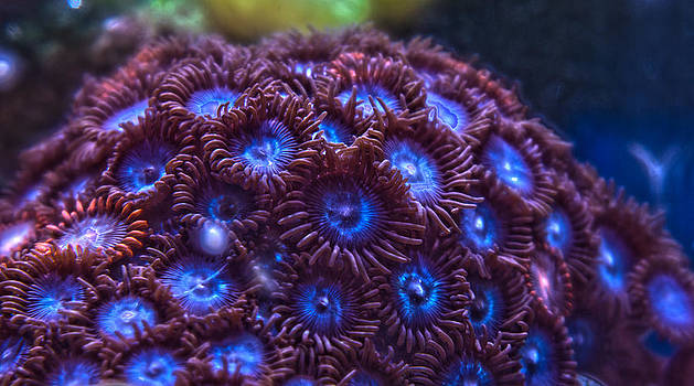 Blue Tubs Zoanthid by Aaron Acker