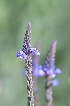 Blue Vervain by Kathryn Whitaker