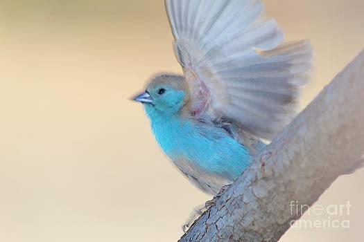 Hermanus A Alberts - Blue Waxbill Blur