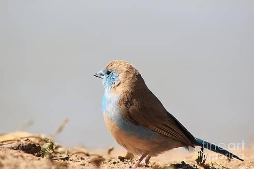 Hermanus A Alberts - Blue Waxbill Puff