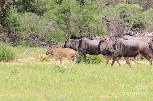 Hermanus A Alberts - Blue Wildebeest Run