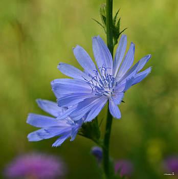 Minartesia - Blue Wildflower Chicory