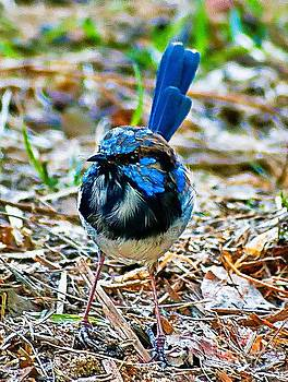 Blue Wren by Blair Stuart