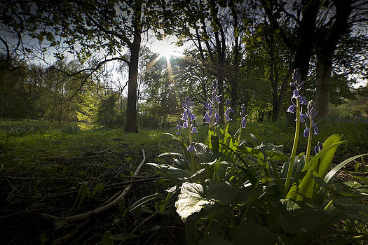 Bluebell in the sun by Andrew James