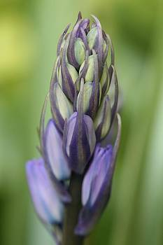 Mark Severn - bluebell buds