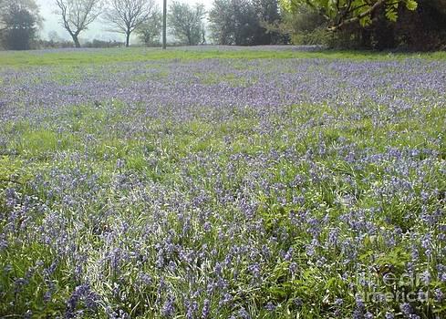 Bluebell Fields by John Williams