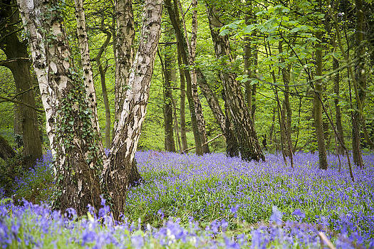 Bluebells in the woods  by Andrew James
