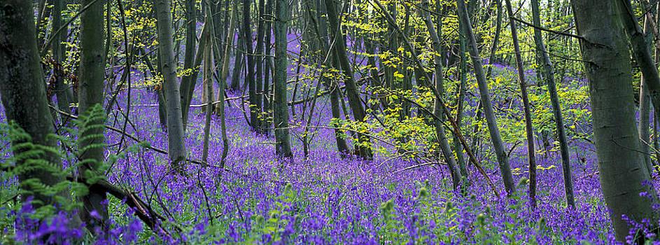 Bluebell Wood by Tony Wainwright