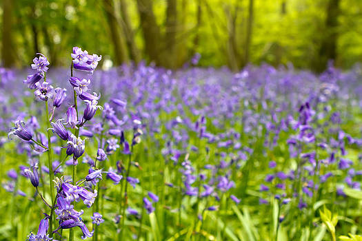 Fizzy Image - Bluebell woods