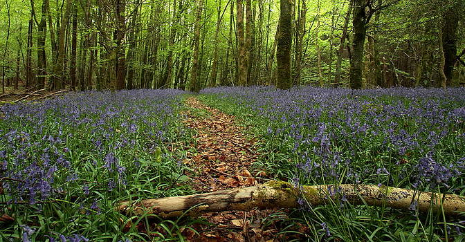 Bluebell Woods by Peter Skelton