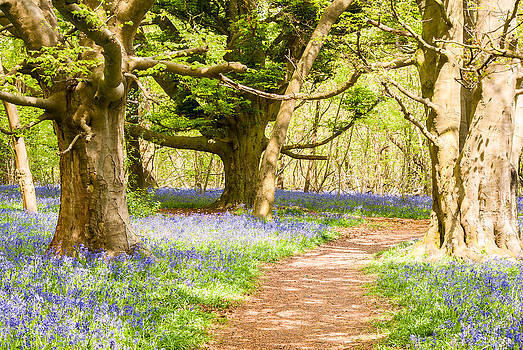 Bluebell Woods by Trevor Wintle