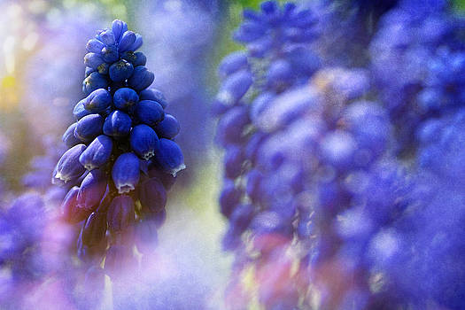 Bluebell by Zoran Buletic