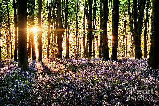 Simon Bratt Photography LRPS - Bluebells blooming in the forest
