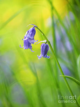 Bluebells by Lisa Cockrell