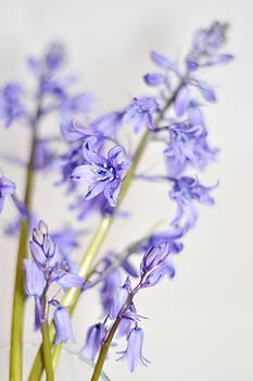 Bluebells by Nadeesha Jayamanne