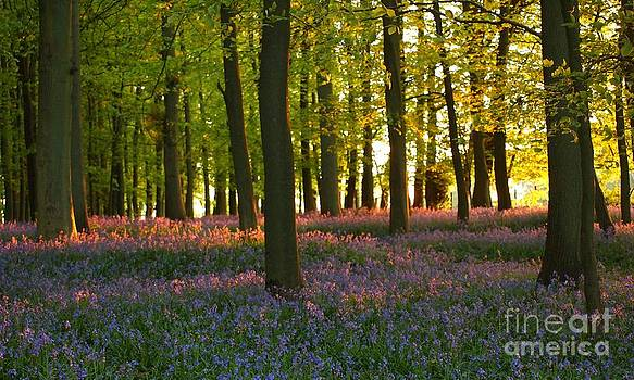Bluebells Tinged with Sunset Glow by Elizabeth Debenham