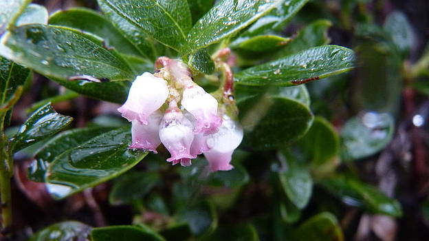 Blueberry Blossoms in Rain by Katerina Naumenko