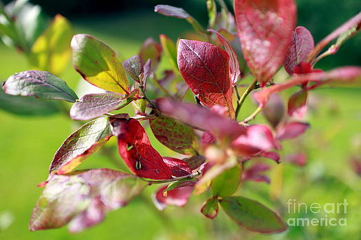 Blueberry Leaves by Phil Paynter