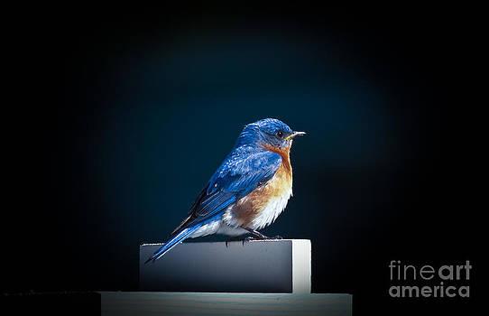 Bluebird Atop Birdhouse by Robert Frederick
