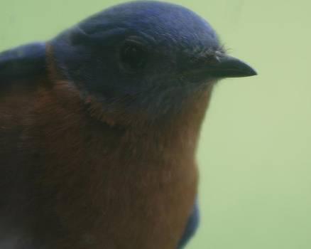 Bluebird by Beverly Little