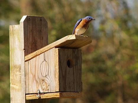 Billy  Griffis Jr - Bluebird