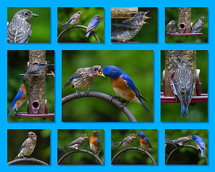Bluebird Collage by Robert L Jackson