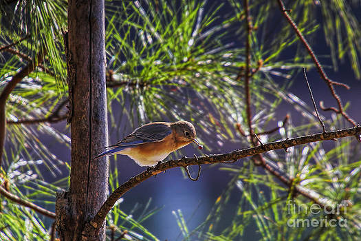 Barbara Bowen - Bluebird grabs a seed