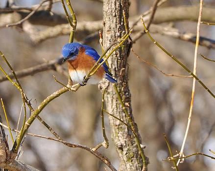Bluebird near Stream by William Fox