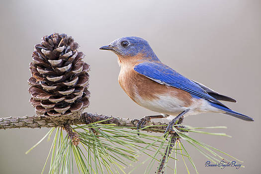 Bluebird on Pine Branch by Bonnie Barry