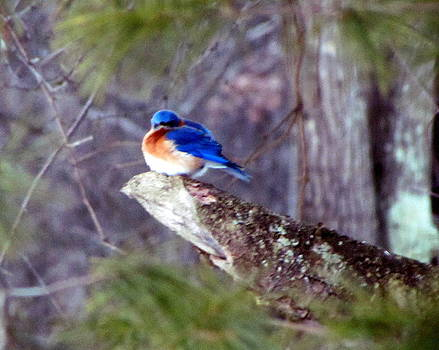 Betty Pieper - Bluebird Surprise in February Upstate