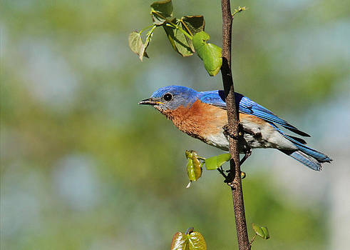 Bluebird with Redbud by Diane Porter