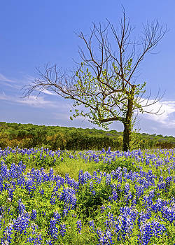 Bluebonnets and Tree III by Greg Reed