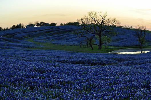 Bluebonnets in a Field by Timothy Johnson