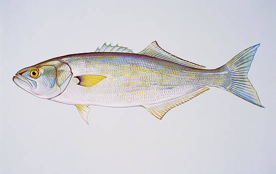 Bluefish by F Hughes