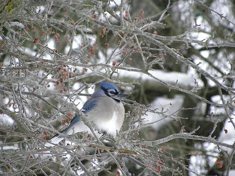 Peggy  McDonald - Bluejay in crabtree