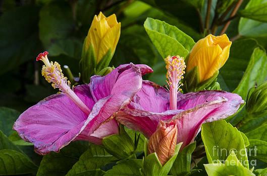 Pravine Chester - Blushing Flowers