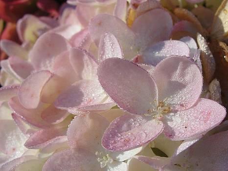 Dawn Hagar - Blushing Hydrangea