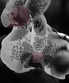 Blushing Orchid by Tara Miller