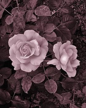Charles Lucas - Blushing Rose