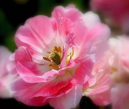Rosanne Jordan - Blushing Spring Tulip