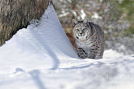 Dan Friend - Bobcat in snow