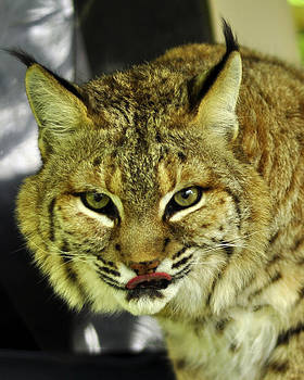 Bobcat Lunch by Cherie Haines