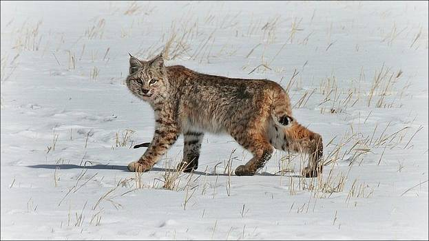 Bobcat On The Hunt by Big Horn  Photography