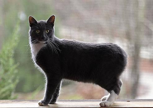 Bobtail Cat by Susan Leggett