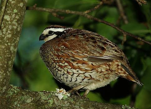 Bobwhite by Billy  Griffis Jr